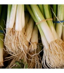 Cibule zimní svazková Freddy - Allium fistulosum - semena - 250 ks