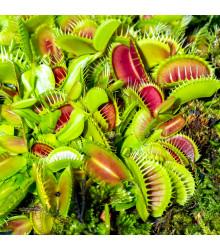 Mucholapka mix - Dionaea - semena - 10 ks