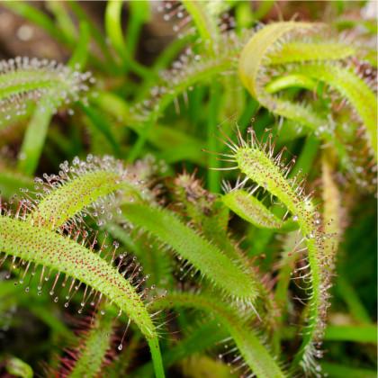 Rosnatka kapská - Drosera Capensis - semena - 15 ks