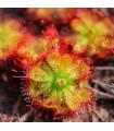 Rosnatka dielsiana - Drosera dielsiana - semena - 15 ks