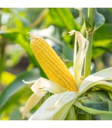 Kukuřice Luminox F1 - Zea mays - semena - 20 ks