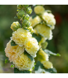 Topolovka žlutá Chaters - Alcea rosea - semena - 12 ks