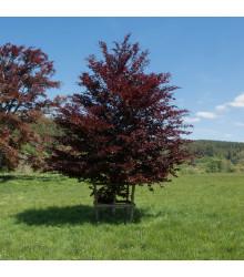 Buk lesní Atropurpurea - Fagus sylvatica atropurpurea - semena - 7 ks