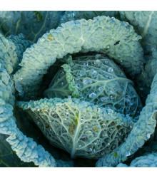 Kapusta hlávková Langedijské - Brassica oleracea L. - osivo kapusty - 160 ks