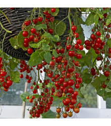 Rajče Tumbler - Lycopersicon esculentum – semena rajčat - 6 ks