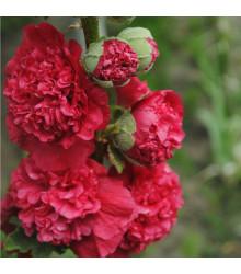 Topolovka Chaters Scarlet - Alcea rosea - semena - 8 ks