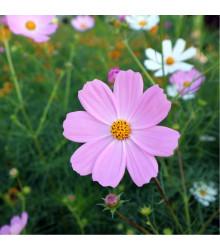 Krásenka Sonata Pink - Cosmos bipinnatus - semena - 15 ks