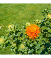 BIO Světlice barvířská - Carthamus tinctorius - bio semena - 20 ks