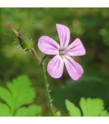 BIO kakost smrdutý - Geranium robertianum - bio semena - 10 ks