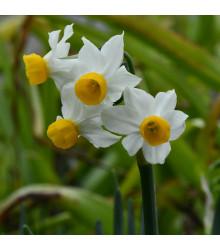 Narcis Canaliculatus - Narcissus canaliculatus - cibuloviny - 3 ks