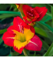Mečík velkokvětý - Gladiolus Brescia - cibuloviny - 3 ks