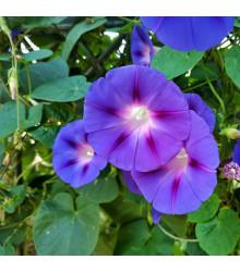 Povíjnice Scarlet O Hara - Ipomoea purpurea - semena - 25 ks