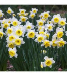 Balíček cibulek narcisů - Narcissus - cibuloviny - 12 ks