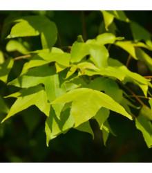 Javor Oblongum - Acer oblongum - semena - 5 ks