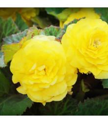 Begonie plnokvětá žlutá - Begonia superba - cibule begónie - 2 ks