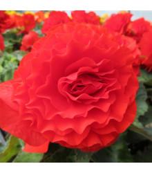 Begonie plnokvětá červená - Begonia superba - cibule begonie - 2 ks