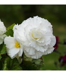 Begonie plnokvětá bílá - Begonia superba - cibule begónie - 2 ks