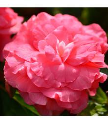 Begonie plnokvětá růžová - Begonia superba - cibule begónie - 2 ks