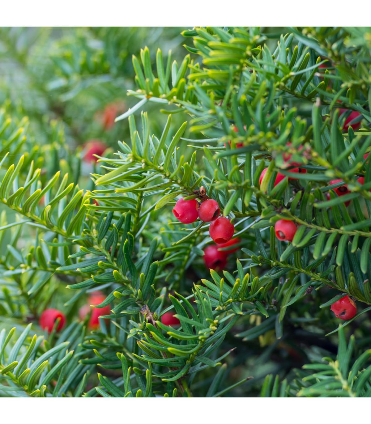 Tis japonský - Taxus Cuspidata - semena - 5 ks