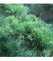 Jalovec čínský - Juniperus chinensis - semena - 5 ks