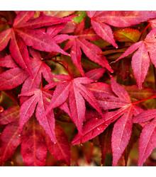 Javor japonský - Acer palmatum - semena - 5 ks