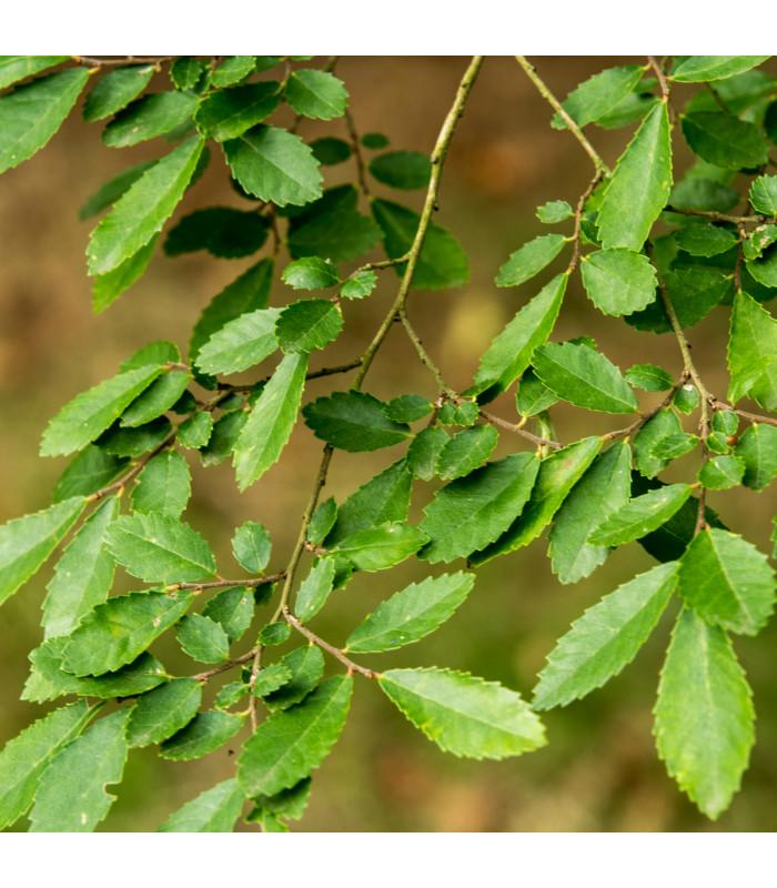 Jilm čínský - Ulmus parvifolia - semena - 10 ks