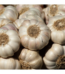 More about Sadbový česnek Flavor - Allium sativum - nepaličák - cibule česneku - 3 ks
