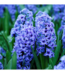 Hyacint Sky jacket - hyacinthus L. - cibuloviny - 1 ks