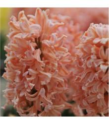 Hyacint Gipsy Queen - Hyacinthus L. - cibuloviny - 1 ks