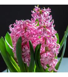 Hyacint Pink Pearl - Hyacinthus L. - cibuloviny - 1 ks