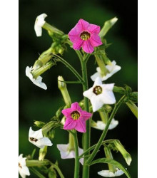 Tabák okrasný - Nicotiana mutabilis - semena - 200 ks