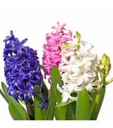 Balíček hyacintů - Hyacinthus - cibuloviny - 4 ks