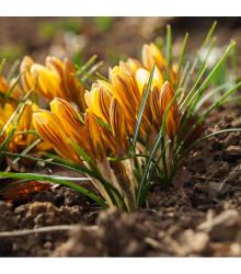 Krokus zlatý - Crocus Fuscontinctus - cibuloviny - 3 ks
