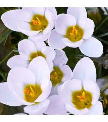 Krokus Ard Schenk - Crocus chrysanthus - cibuloviny - 3 ks
