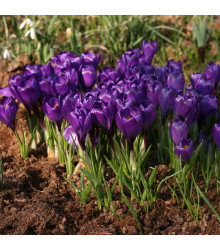 Krokus Remembrance - Crocus Vernus - cibuloviny - 3 ks