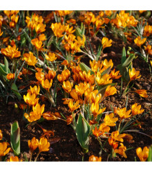 Krokus Orange Monarch - Crocus Chrysanthus - cibuloviny - 3 ks