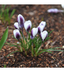 Krokus Prins Claus - Crocus chrysanthus - cibuloviny - 3 ks