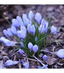 Krokus Blue Pearl - Crocus - cibuloviny - 3 ks