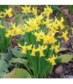 Narcis February gold - Narcissus - cibuloviny - 3 ks
