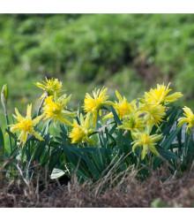 Mininarcis Rip Van Winkle - Narcissus Rip van Winkle - cibuloviny - 3 ks