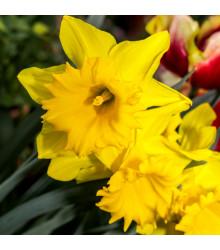 Narcis trubkovitý Barenwyn - Narcissus Barenwyn - cibuloviny - 3 ks