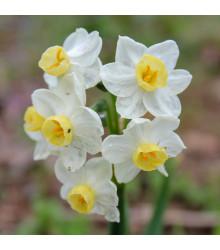 Narcis Minnow - Narcissus Minnow - cibuloviny - 3 ks
