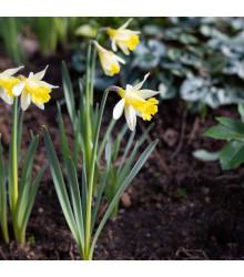 Narcis Topolino - Narcissus - cibuloviny - 3 ks