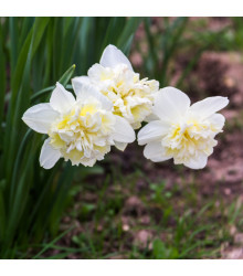 Narcis Ice King - Narcissus - cibuloviny - 3 ks