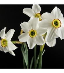 Narcis Poeticus Pheasant eye Recurvus - Narcissus L. - cibuloviny - 3 ks