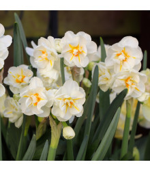 Narcis Sir Winston Churchill - Narcissus L. - cibuloviny - 3 ks