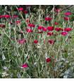 Kohoutek věncový - Lychnis coronaria - semena kohoutku - 50 ks
