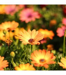 More about Paprskovka Sunset Shades - Osteospermum - semena paprskovky - 6 ks