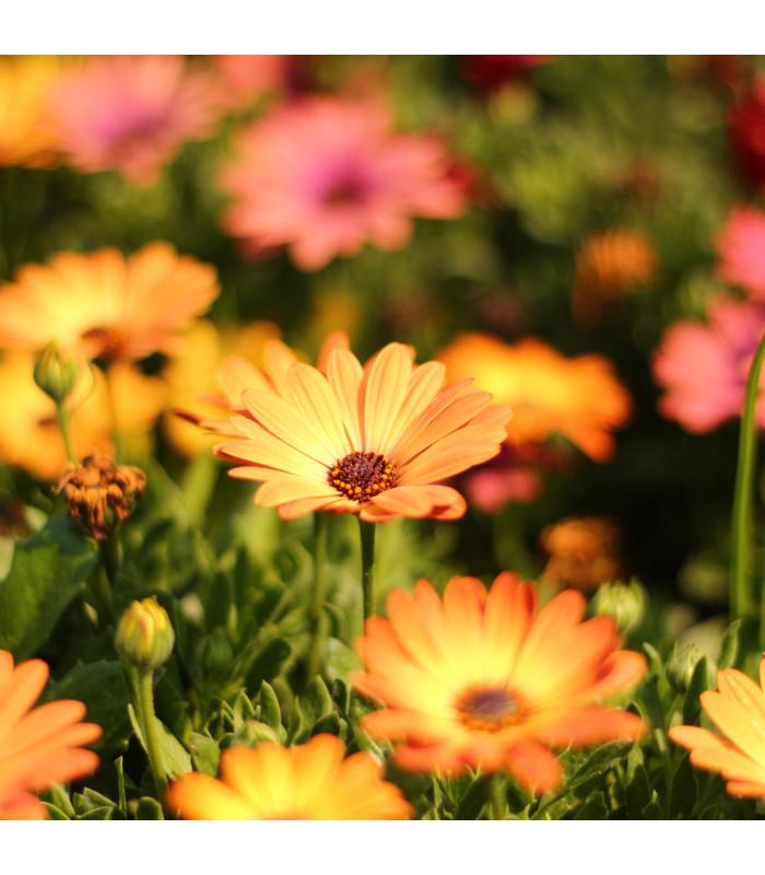 Paprskovka Sunset Shades - Osteospermum - semena paprskovky - 6 ks