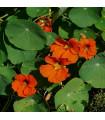 Lichořeřišnice větší Tom Pouce - Tropaeolum majus - semena lichořeřišnice - 15 ks